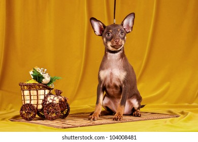 Russian toy dog on yellow background