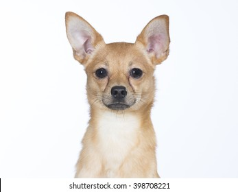 Russian Toy Terrier puppy portrait. The dog breed is also known as Russkiy Toy and it is originally bred in Russia from the English Toy Terrier which is known today as the Manchester Terrier