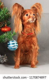 Russian Toy Terrier sits near Christmas tree