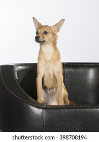 Russian Toy Terrier sitting in a sofa. The dog breed is also known as Russkiy Toy and it is originally bred in Russia from the English Toy Terrier which is known today as the Manchester Terrier