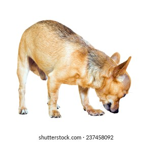 Russian Toy Terrier sniffing something. Isolated over white background