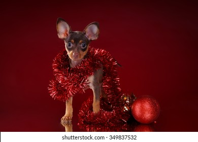 Russian toy-terrier on a red background with Christmas ball and decorations