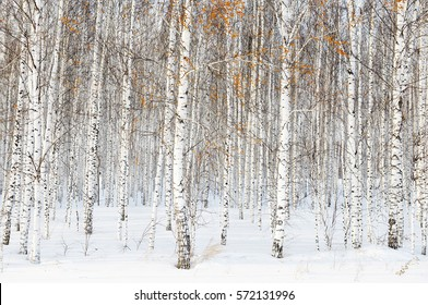 Russian winter landscape with white birch trees