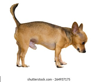 Russkiy Toy (Moscow Toy Terrier). Isolated on white