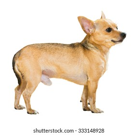 Russkiy Toy (Moscow Toy Terrier). Isolated over white