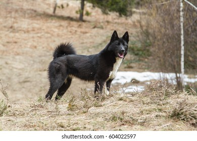 Russo-European Laika - hunting dog