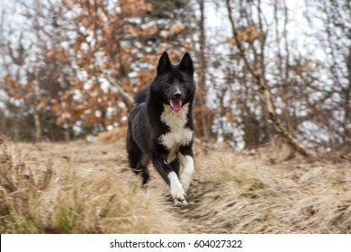 Russo-European Laika - hunting dog ,Russo-European Laika in pursuit of the boar