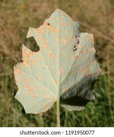 Rust caused by Coleosporium tussilaginis on leaf of coltsfoot or Tussilago farfara