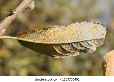 Rust fungus (Melampsora sp.) on leaf of Willow