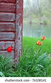 A Rustic Barn with Tulip flowers growing around it.