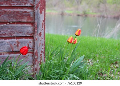 A Rustic Barn with Tulips growing around it.