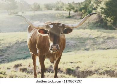 Rustic brown Texas Longhorn cow in rural pasture.