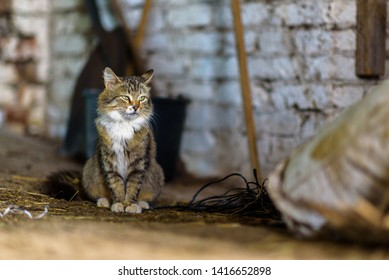 A rustic gray cat on a farm sits in a barn.
