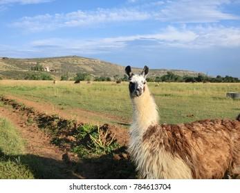 Rustic llama animal in Argentinian highlands