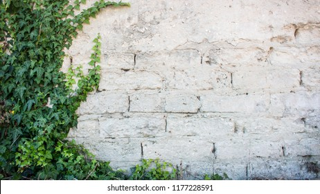 Rustic wall with exposed bricks half covered by Common Ivy. Also known as Hedera helix, English ivy or European ivy.