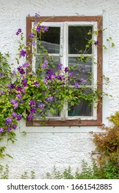 Rustic window with blooming creepers on the white wall. Creepers with purple flowers. Vertical orientation.