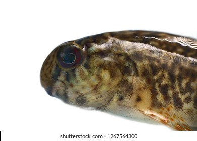 Rusty blenny or Black Sea blenny (Parablennius sanguinolentus) from the southern coast of Crimea, Black Sea, Subtropical demersal fish. Macro isolated on white background