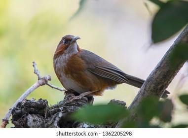 Rusty Cheeked Scimitar Babbler Perched