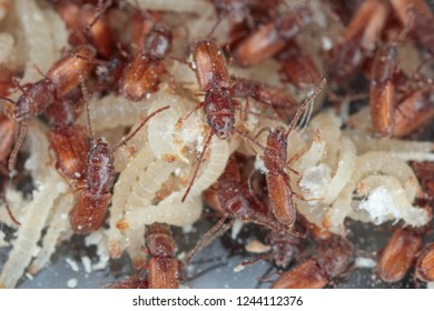 Rusty grain beetle Cryptolestes ferrugineus is a beetles of the family Laemophloeidae (lined flat bark beetles), known as economically important pests of stored products. Larvae and beetles.