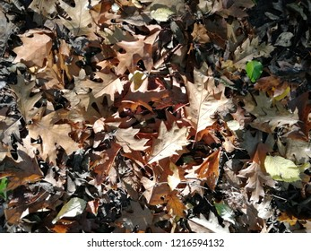 Rusty leaves on forest floor.