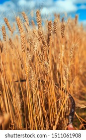 rusty metal sickle mows Golden ripe ears of wheat at agricultural work on the farm