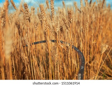 rusty metal sickle mows Golden ripe ears of wheat on agricultural farm work