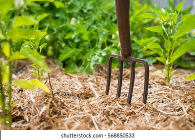 Rusty old fork in the vegetable garden