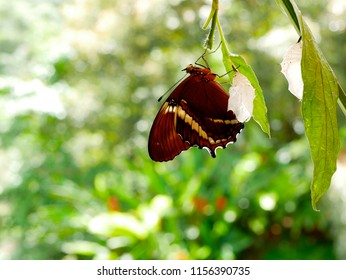 rusty tipped page butterfly spiroeta epaphus out of its pupa with another empty pupa on its side blurred green background place to put text