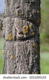 Rusty wire on a lichen-covered tree trunk.