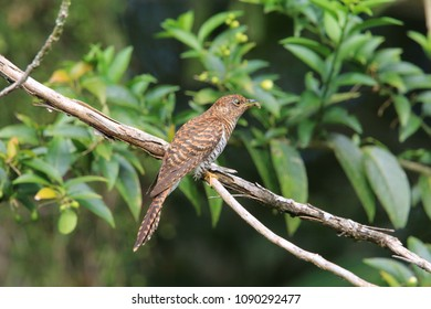 Rusty-breasted cuckoo (Cacomantis sepulcralis) female in Mindanao, Philippines