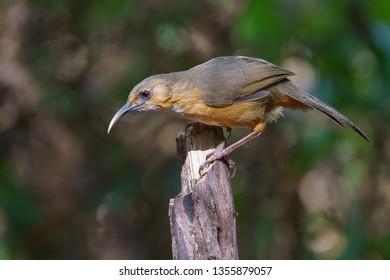 Rusty-cheeked Scimitar Babbler (Pomatorhinus erythrogenys). babbler, bird. Doi Lang, Chiang Mai, Thailand.
