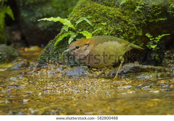 Rusty-naped pitta close up in the nature.