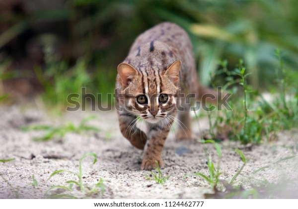 Rusty-spotted cat stalking her prey in Ceylon nature with one front paw raised. Small cat from wild Sri lanka keeps looking with his front paw lifted off the ground. Prionailurus rubiginosus phillipsi
