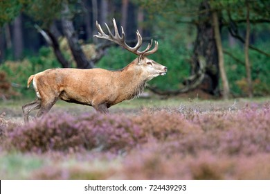 The rut in National Park de Hoge Veluwe, The Netherlands