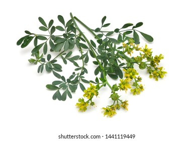 Ruta commonly known as rue Ruta graveolens rue or common rue. Isolated on white background.
