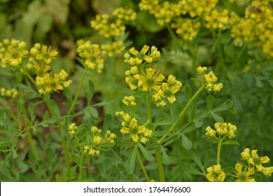 Ruta commonly known as rue Ruta graveolens rue or common rue. Yellow flowers of Ruta graveolens (common rue or herb of grace) in summer garden. The cultivation of medicinal plants in the garden.