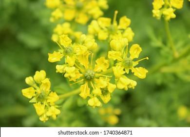 ruta graveolens, close up, yellow