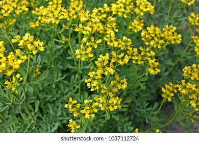 Ruta graveolens, commonly known as rue, common rue or herb-of-grace is an  ornamental plant. It is also cultivated as a medicinal herb and as a condiment