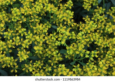 Ruta graveolens, commonly known as rue, common rue or herb-of-grace, medicinal plant
