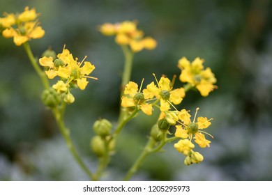 Ruta graveolens, commonly known as rue, common rue or herb-of-grace, is a species of Ruta grown as an ornamental plant and herb