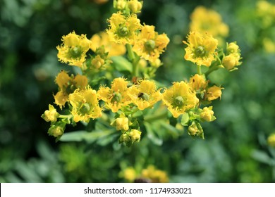 Ruta graveolens or  known as rue, common rue or herb-of-grace