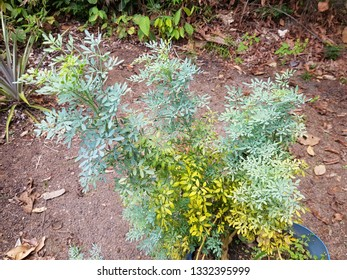 Ruta graveolens [L. strong smelling rue], commonly known as rue, common rue or herb-of-grace, is a species of Ruta grown as an ornamental plant and herb. Rutaceae family. Location, Amazon, Brazil