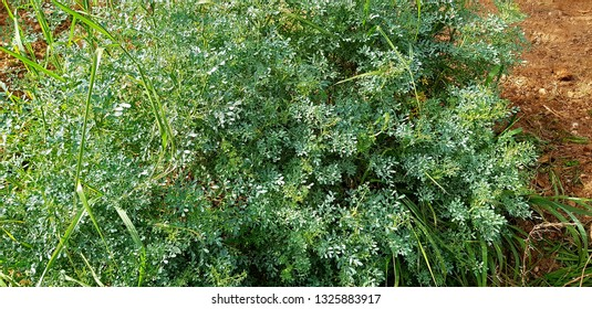 Ruta graveolens: is a species of Ruta grown as an ornamental plant and herb, commonly known as rue, common rue or herb-of-grace . Rutaceae family.