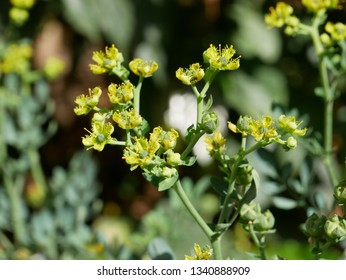 Ruta graveolens, strong smelling rue, commonly known as rue, common rue or herb-of-grace, normally use in Ethiopia to put inside the coffee