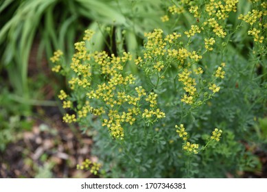 Ruta graveolens: wild perennial plants grow in the forest in summer
