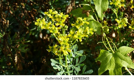 Ruta graveolensL. , commonly known as rue, common rue or herb-of-grace, is a species of Ruta grown as an ornamental plant and herb. Rutaceae family.