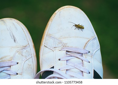 Rutpela maculata, the spotted longhorn beetle sitting on a human foot wearing white dirty sneaker shoe on dark green background