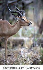 Rutting male impala