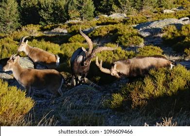 Rutting of the mountain goat (Capra pyrenaica victoriae). Pictures taken in Sierra de Guadarrama, in Madrid, Spain.