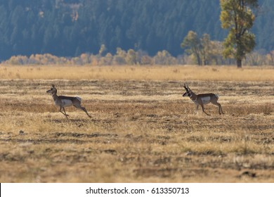 Rutting Pronghorns in Fall
